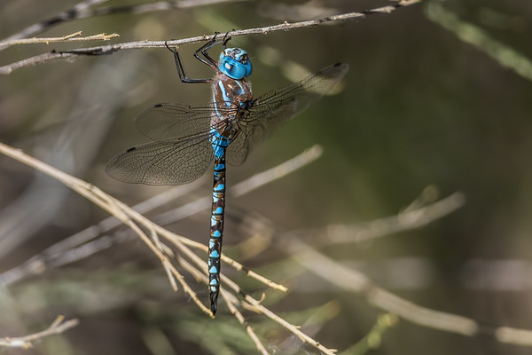 riffle darner, Oplonaeschna armata (Odonata, Aeshnidae). Sweetwater wetlands, Tucson, Pima Co., Arizona USA