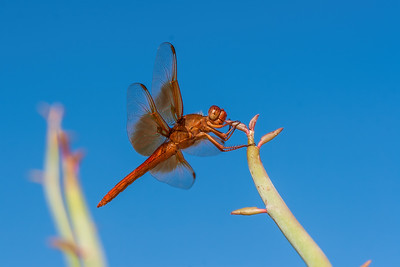 flame skimmer dragonfly, Libellula saturata (Libelluidae). Tucson, Pima co. Arizona USA