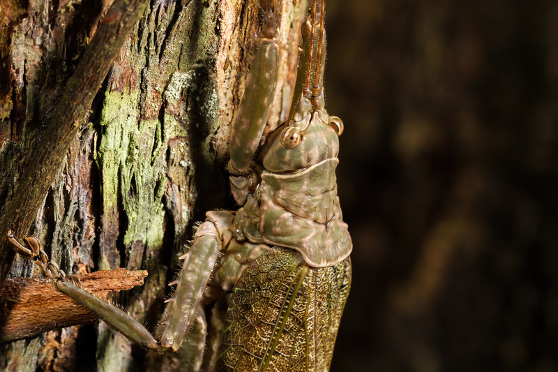 (Tettigoniidae) Shiripuno, Orellana Ecuador