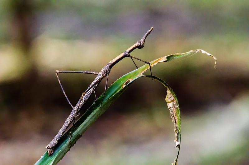 jumping grasshopper (Proscopiidae). Shiripuno, Orellana Ecuador