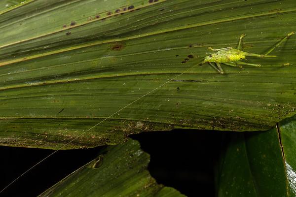 female katydid. Bates loop, Shiripuno, Orellana Ecuador