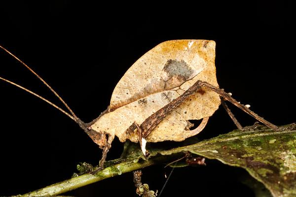 dead leaf mimic katydid, Typophyllum sp. (Tettigoniidae). Gareno Amazon, Napo, Ecuador