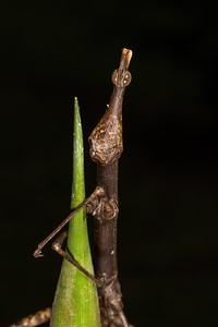 jumping stick grasshopper (Proscopiidae). Bates trail, Shiripuno, Orellana Ecuador