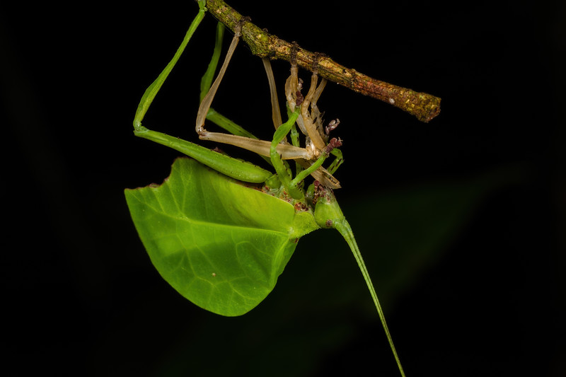 leaf mimic katydid eating shed exoskeleton. Bates trail, Shiripuno, Orellana Ecuador