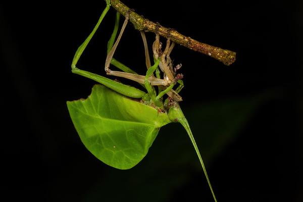leaf mimic katydid eating shed exoskeleton. Bates trail, Shiripuno, Orellana Ecuador