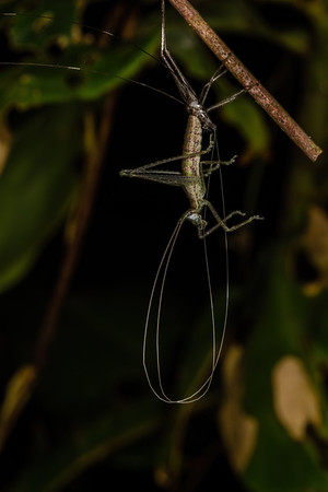 Katydid molting. Bates trail, Shiripuno, Orellana Ecuador