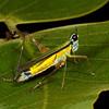 grasshopper, (Eumastacidae). Gareno Amazon, Napo, Ecuador