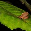 dead leaf mimic katydid, <i>Typophyllum</i> sp. (Tettigoniidae). Gareno Amazon, Napo, Ecuador