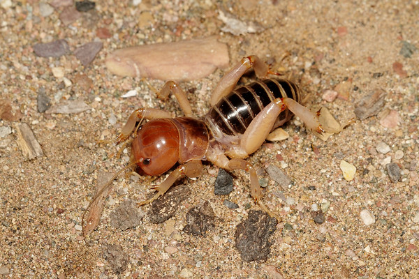 Jerusalem cricket, Stenopelmatus sp. (Stenopelmatidae). Peppersauce Canyon, Pinal Co. Arizona USA