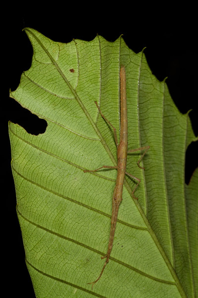 walkingstick (Phasmatodea). Gareno Amazon, Napo Ecuador