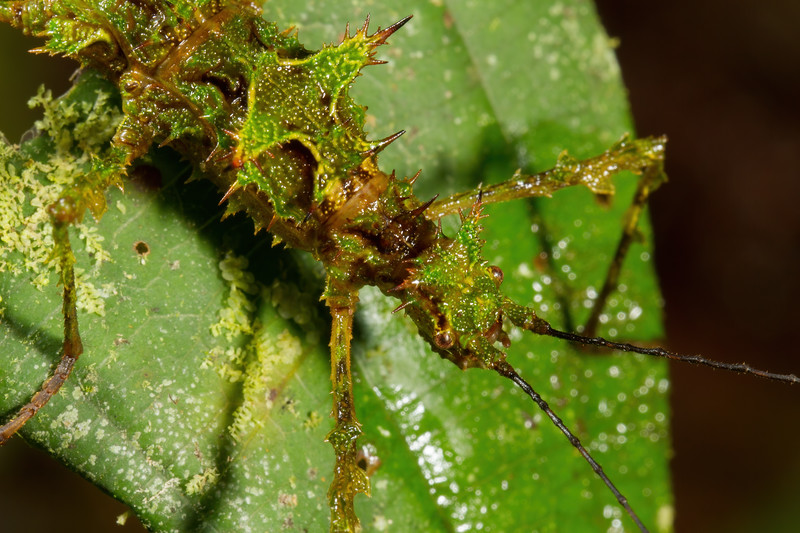 mossy branch mimic walking stick (Phasmatodea). Yanayacu San Isidro Stream Trail, Cosanga, Napo Ecuador