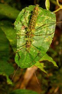 mossy branch mimic walking stick (Phasmatodea). Yanayacu San Isidro Stream Trail, Cosanga, Napo Ecuador
