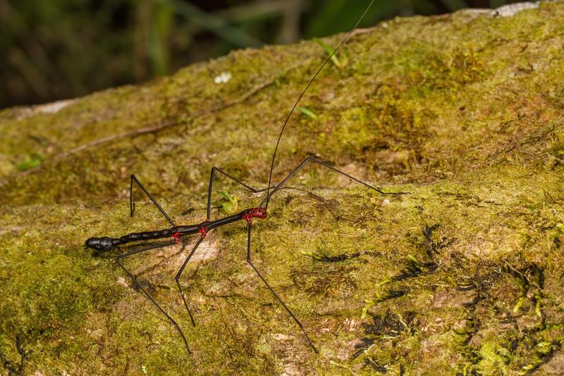 male Oreophoetes peruana (Diapheroeridae). Narupa, Napo Ecuador