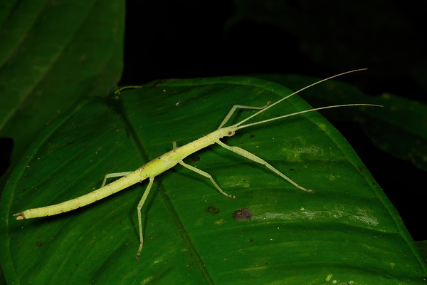 walkingstick (Phasmatodea). Gareno Amazon, Napo Ecuador