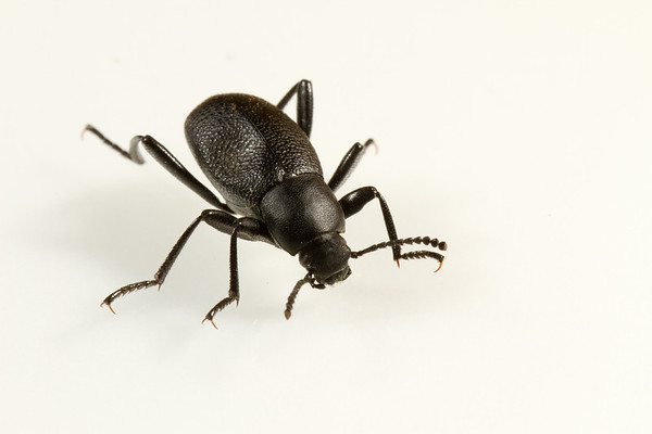 darkling beetle, Eleodes sp. (Tenebrionidae). Cache Co., Logan, Utah USA