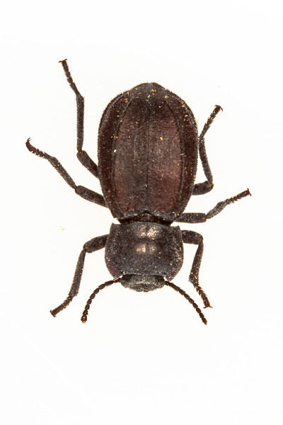 darkling beetle (Tenebrionidae). Tucson, Pima Co. Arizona USA