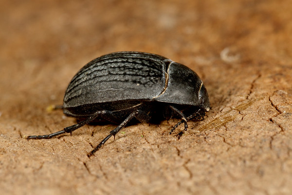 <i>Eusattus reticulatus</i>(Tenebrionidae). Peppersauce Canyon, Pinal Co. Arizona USA