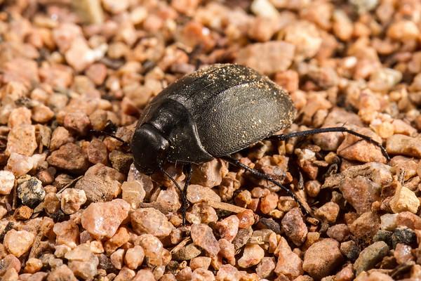 frantic darking beetle, Zophosis dorsata (Tenebrionindae). Epupa, Kunene Namibia
