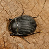 <i>Eusattus reticulatus</i>(Tenebrionidae). Peppersauce Canyon, Pinal Co. Arizona USA