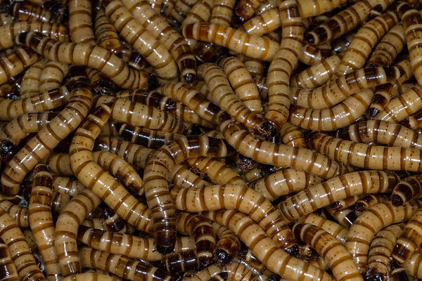 superworms, Zophobas morio (Tenebrionidae). cultured feeders
