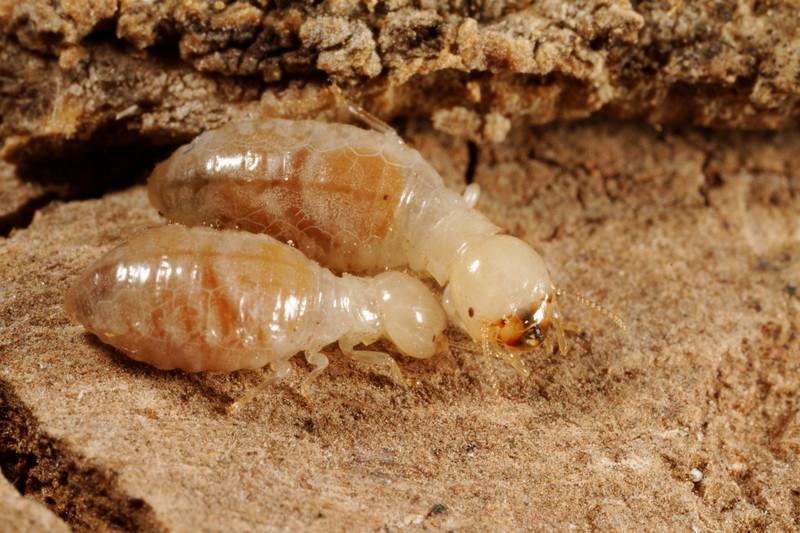 palo verde specialist termite, Pterotermes occidentis (Kalotermitidae). Santa Rita Experimental Range, Pima Co., Arizona USA