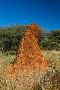 Macrotermes michaelseni (Termitidae, Macrotermitinae) mound. Otjozondjupa Namibia