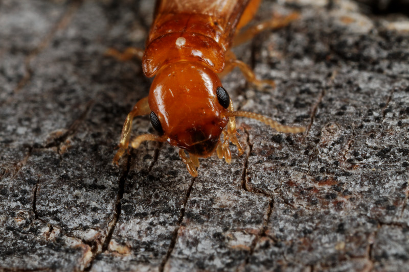 winged termite (Termitidae) with white mite. Tucson, Arizona USA