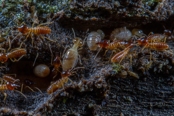 Nasutitermes (Termitidae). Narupa, Napo Ecuador