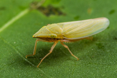 pointed nose planthopper, Draeculacephala sp. (Cicadellidae). Spartanburg, South Carolina USA