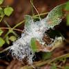 wooly aphid (Eriosomatidae). Spartanburg, South Carolina USA