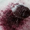 cochineal scale and red dye from crushed bug, <i>Dactyllopious</i> sp. (Dactylopiidae). Tucson, Arizona USA