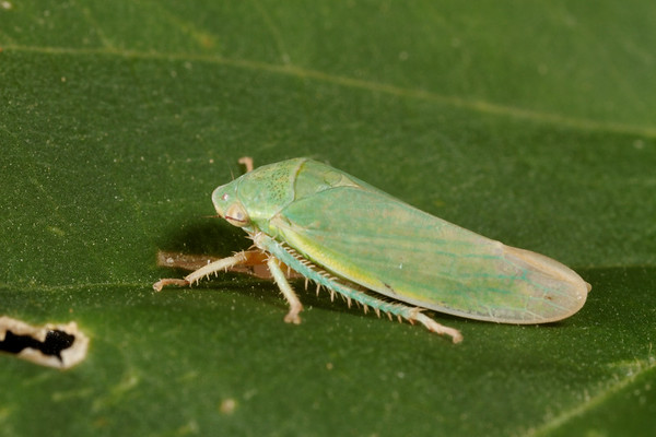 planthopper (Cicadellidae). Tucson, Arizona USA
