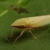 pointed nose planthopper, <i>Draeculacephala</i> sp. (Cicadellidae). Spartanburg, South Carolina USA