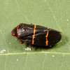 two-lined spittlebug, <i>Prosapia bicincta</i> (Cercopidae). Spartanburg, South Carolina USA