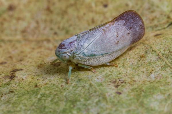 Ormenis saucia (Flatidae). Tucson, Pima Co., Arizona USA