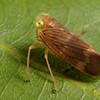 brown leafhopper, <i>Coelidia olitoria</i> (Cicadellidae). Spartanburg, South Carolina USA