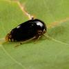 treehopper (Membracidae). Spartanburg, South Carolina USA