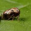 black locust treehopper, <i>Vanduzea arquata</i> (Membracidae). Pickens, South Carolina USA
