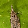 <i>Scolopsella reticulata</i> (Fulgoridae). Tucson, Pima Co., Arizona USA