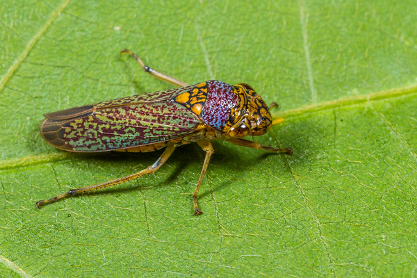sharpshooter, Oncometopia orbona (Cicadellidae). Spartanburg, South Carolina USA