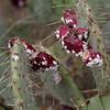 cochineal scale, <i>Dactyllopious</i> sp. (Dactylopiidae) on prickly pear cactus. Tucson, Pima Co., Arizona USA