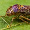 sharpshooter, <i>Oncometopia orbona</i> (Cicadellidae). Spartanburg, South Carolina USA