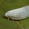 planthopper (Flatidae). Spartanburg, South Carolina USA