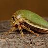 <i>Stictopelta marmorata</i> (Membracidae) on mesquite. Tucson, Pima Co., Arizona USA