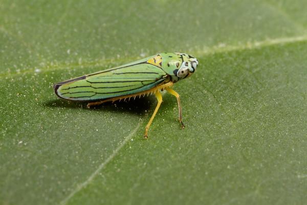 blue-green planthopper, Graphocephala atropunctata (Cicadellidae). Tucson, Arizona USA
