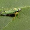 blue-green planthopper, <i>Graphocephala atropunctata</i> (Cicadellidae). Tucson, Arizona USA