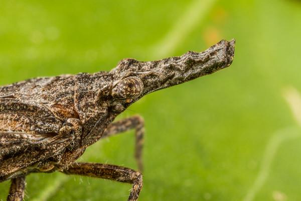 Scolopsella reticulata (Fulgoridae). Tucson, Pima Co., Arizona USA