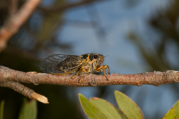 cicada (Cicadidae). top of Carr Canyon, Huachuca Mountains, Cochise Co., Arizona USA