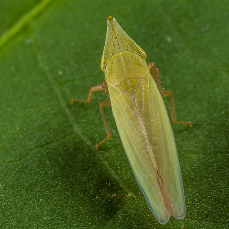 pointed nose planthopper, Draeculacephala sp. (Cicadellidae). Spartanburg, South Carolina USA