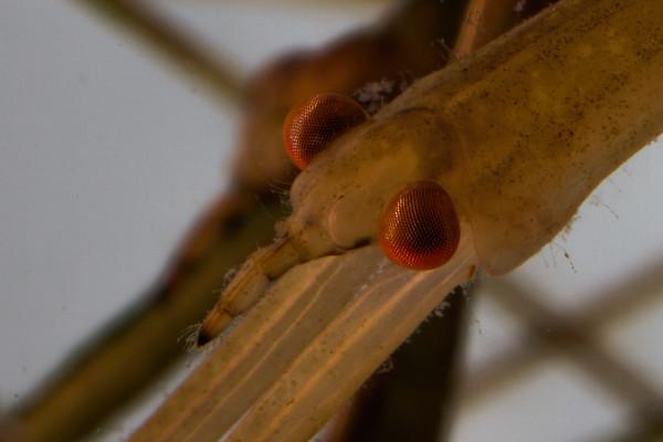 water scorpion, Ranatra quadridentata (Nepidae). Mendoza Canyon, King Anvil Ranch, Pima Co., Arizona USA